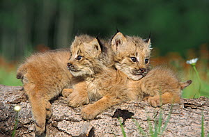 Canadian Lynx (Lynx canadensis) seven-week kittens on log, Minnesota, USA, captive.  -  Robert Pickett