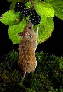 Wood Mouse (Apodemus sylvaticus) feeding on Blackberry fruit, UK  -  Robert Pickett