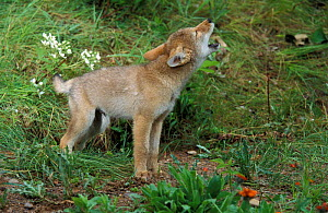Coyote (Canis latrans) nine week pup howling in woodland, Minnesota, USA, captive.  -  Robert Pickett