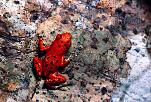 Strawberry Poison Frog (Oophaga pumilio) on a tree trunk, Bastimentos Island, Panama. - Visuals Unlimited