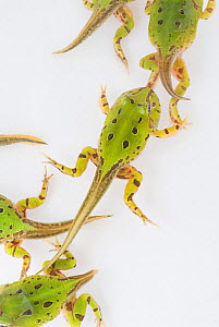Caatinga Horned Frog (Ceratophrys joazeirensis) froglets undergoing metamorphosis, endemic in Brazil. Captivity - Visuals Unlimited