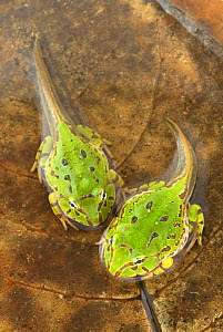 Caatinga Horned Frog (Ceratophrys joazeirensis) froglets undergoing metamorphosis. Endemic to Brazil. Captive. - Visuals Unlimited