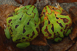 Adult female (right) and male (left) Caatinga Horned Frogs (Ceratophrys joazeirensis) endemic in Brazil. Captive.  -  Visuals Unlimited