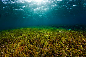 Eel Grass (Zostera) beds, Indonesia.  -  Visuals Unlimited