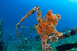 Commerson's Frogfish (Antennarius commerson) resting on the railing of the Saint Anthony shipwreck, Maui, Hawaii, USA.  -  Visuals Unlimited