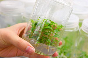 Hand holding Teak (Tectona grandis) clones in tissue culture container, YSG Biotech, Sabah, Malaysia.  -  Visuals Unlimited