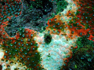 Great Star Coral (Montastraea) with white plague disease which has killed off 80% of Caribbean corals,  Caribbean - Visuals Unlimited