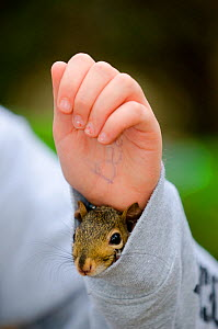 Eastern Gray Squirrel (Sciurus carolinensis) poking its head out of child's sleeve, captive tame squirrel from rehabilitation centre. Kentucky, USA  -  Visuals Unlimited