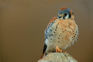 Male American Kestrel sitting on a post (Falco sparverius) North America.  -  Visuals Unlimited