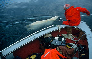 Doug Allan filming swimming  polar bear (Ursus maritimus) from boat  in the Canadian Arctic. On location for BBC programme 'Polar Bear Special', May 1996.  -  Martha Holmes