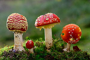 Fly Agaric (Amanita muscaria) toadstools growing on moss. Lorraine, France, October  -  Michel Poinsignon