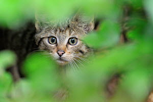 European wild cat (Felis silvestris) kitten portrait, Bavarian Forest National Park, Germany, captive. - Michel  Poinsignon