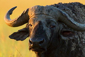 RF- African buffalo (Syncerus caffer) male close-up, Masai-Mara Game Reserve, Kenya (This image may be licensed either as rights managed or royalty free.) - Denis-Huot