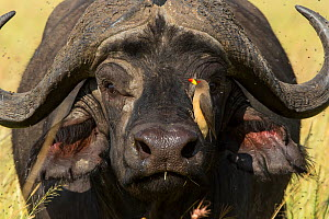 African buffalo (Syncerus caffer) male with a Yellow-billed oxpecker (Buphagus Africanus) cleaning him, Masai-Mara Game Reserve, Kenya  -  Denis-Huot
