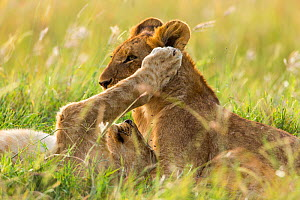 Lion (Panthera leo) cubs playing, Masai-Mara Game Reserve, Kenya  -  Denis-Huot,Denis-Huot