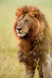 Lion (Panthera leo) male with bloody mane and flies, Masai-Mara Game Reserve, Kenya  -  Denis-Huot