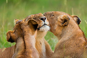 Lionesses (Panthera leo) nuzzling up to one another, Masai-Mara Game Reserve, Kenya  -  Denis-Huot