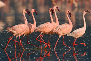 Lesser flamingo (Phoeniconaias minor) males in display, Lake Nakuru, Kenya - Denis-Huot