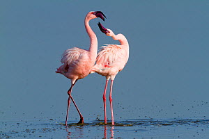 Lesser flamingo (Phoeniconaias minor) males in display, Lake Nakuru, Kenya - Denis-Huot,Denis-Huot
