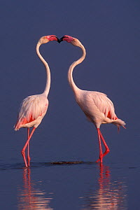 Greater flamingos (Phoenicopterus ruber roseus) males displaying, lake Nakuru, Kenya  -  Denis-Huot,Denis-Huot