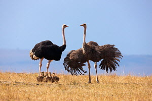 Ostrich (Struthio camelus) female and male with chicks, Masai-Mara Game Reserve, Kenya  -  Denis-Huot,Denis-Huot