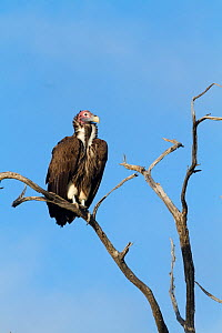 Lappet-faced vulture (Torgos tracheliotus) perched on tree, Moremi Game Reserve, Botswana  -  Denis-Huot