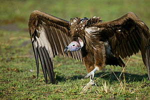 Lappet-faced vulture (Torgos tracheliotus) walking aggressively along the ground, Masai-Mara Game Reserve, Kenya,  -  Denis-Huot