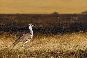 Kori bustard (Ardeotis kori) walking in grass burnt in bushfire, Masai-Mara Game Reserve, Kenya - Denis-Huot,Denis-Huot