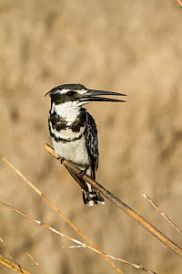 Pied Kingfisher (Ceryle rudis) perched on reed, Chobe National Park, Botswana  -  Denis-Huot
