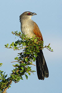 White-browed Coucal (Centropus superciliosus) portrait, Masai-Mara Game Reserve, Kenya - Denis-Huot