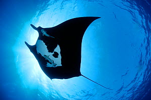 Manta ray (Manta birostris), San Benedicto, Revillagigedo (Socorro) Islands, Mexico, East Pacific Ocean - Franco  Banfi