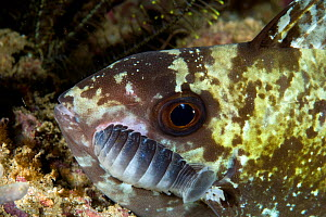 Fish with with isopod parasites (Nerocila sp.) Raja Ampat, Irian Jaya, West Papua, Indonesia, Pacific Ocean  -  Franco  Banfi