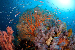 Rich reef with sea fan (Melithaea) and soft coral (Dendronephthya sp) , Raja Ampat, Irian Jaya, West Papua, Indonesia, Pacific Ocean - Franco  Banfi