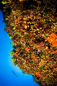 Scuba diver and wall covered with sponges and warm water coral (Astroides calycularis) Ponza Island, Italy, Tyrrhenian Sea, Mediterranean  -  Franco  Banfi