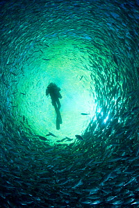 Diver with rebreather inside sea cage used for aquaculture with thousand of Gilt-head bream (Sparus aurata) Ponza Island, Italy, Tyrrhenian Sea, Mediterranean  -  Franco  Banfi