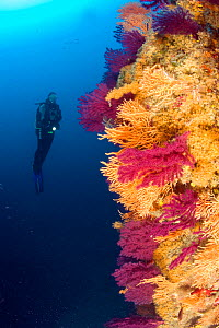 Scuba diver and Red seafan (Paramuricea clavata) Yellow gorgonian (Eunicella cavolini) and Yellow Cluster Anemone (Parazoanthus axinellae), Punta Sant'Angelo dive-site, Ischia Island, Italy, Tyrrhenia... - Franco  Banfi