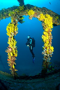 Scuba diver and yellow sponges (Aplysina cavernicola) on Brioni Steamship wreck, Vis Island, Croatia, Adriatic Sea, Mediterranean. Model released.  -  Franco  Banfi