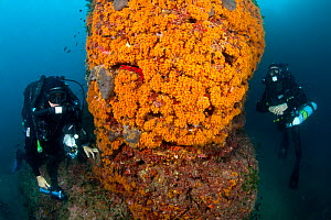 Reabreather divers and wall covered with Yellow cluster anemone (Parazoanthus axinellae) Ischia Island, Italy, Tyrrhenian Sea, Mediterranean - Franco  Banfi