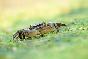 Shore crab (Carcinus maenas) at low tide, Calvados, Normandy, France, July.  -  Benjamin Barthelemy