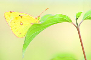 Common clouded yellow  butterfly (Colias Crocea), Reserve Naturelle de la Vallee des Cailles, Eure-et-Loir, France, July.  -  Benjamin Barthelemy