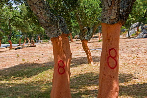 Cork oak (Quercus suber) trees shortly after the harvesting of their bark, the number 8 indicates the year of harvest, Sardinia, Italy, July 2008.  -  Adrian Davies
