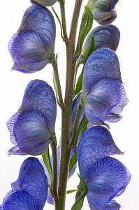 Monkshood (Aconitum), Surrey, England, UK, June.  -  Adrian Davies