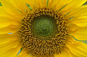 Close-up of a Sunflower (Helianthus), Surrey, England, UK, July. - Adrian Davies