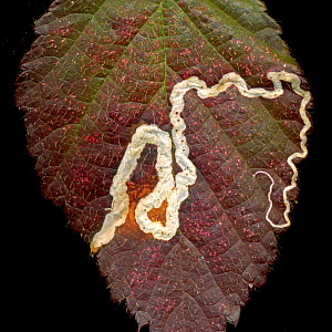 Trail left in a Bramble leaf by the larvae of a Pygmy eyecap moth (Stigmella aurella), scanned on a flatbed scanner, Surrey, England, UK. - Adrian Davies