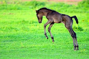 Five day old purebred Andalusian foal (Equus caballus) playing in a field, Alsace, France, May.  -  Eric Baccega