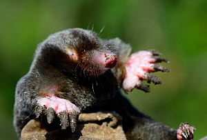 European mole (Talpa europaea) at the surface, Alsace, France, September. - Eric Baccega