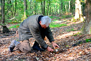 Man using a knife to harvest a Cep (Boletus edulis) growing on forest floor, Alsace, France, October. - Eric Baccega