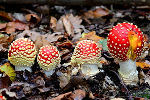 Four Fly agaric fungi (Amanita muscaria) growing on forest floor, Alsace, France, October.  -  Eric Baccega