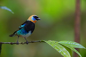 Golden-hooded Tanager (Tangara larvata) on twig, Northern Costa Rica, Central America  -  Suzi Eszterhas