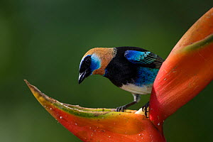 Golden-hooded Tanager (Tangara larvata) on heliconia flower, Northern Costa Rica, Central America  -  Suzi Eszterhas
